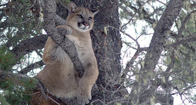 Cougars respond to roads based on traffic, topography, time of day