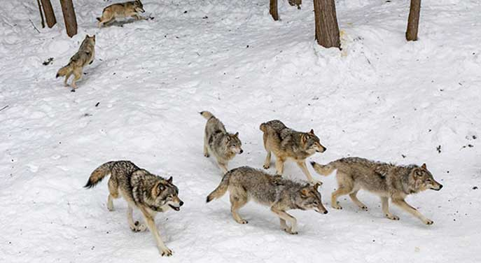 My close and unforgettable encounters with wolves